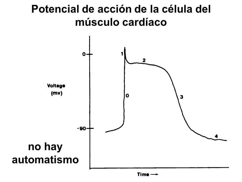 Potencial de acción de la célula del músculo cardíaco no hay automatismo