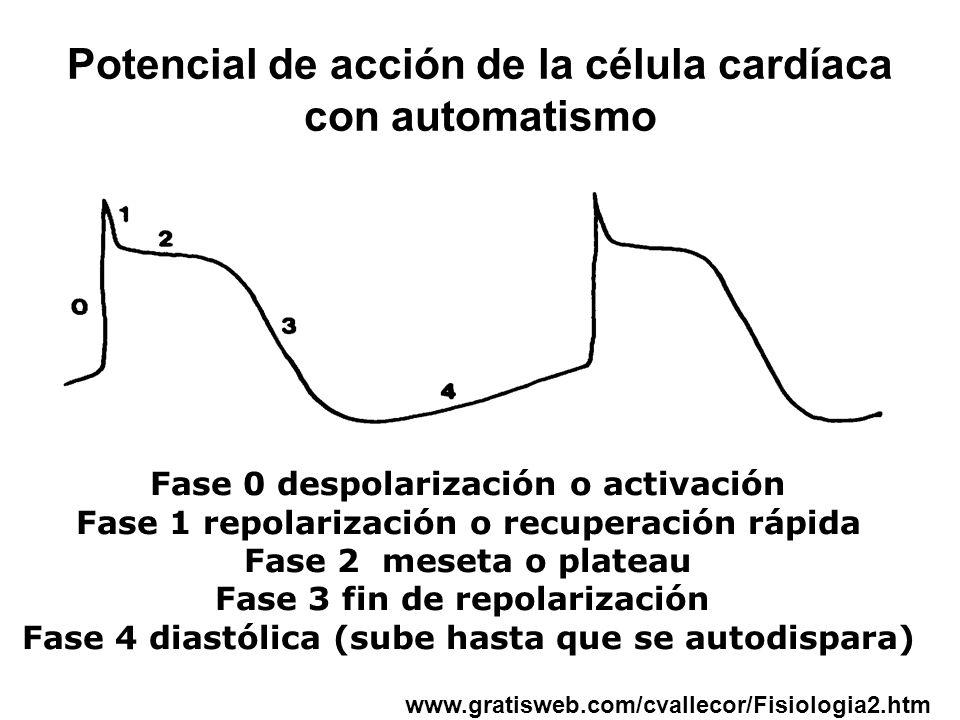 Potencial de acción de la célula cardíaca con automatismo Fase 0 despolarización o activación Fase 1 repolarización o recuperación rápida Fase 2 meseta o plateau Fase 3 fin de repolarización Fase 4 diastólica (sube hasta que se autodispara) www.gratisweb.com/cvallecor/Fisiologia2.htm