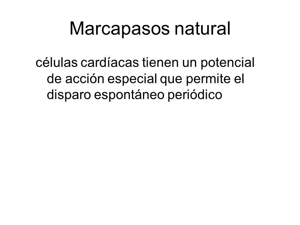 Marcapasos natural células cardíacas tienen un potencial de acción especial que permite el disparo espontáneo periódico