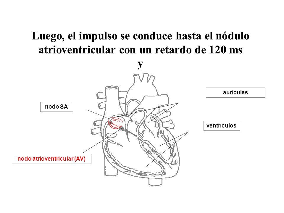 aurículas ventrículos nodo SA Luego, el impulso se conduce hasta el nódulo atrioventricular con un retardo de 120 ms y nodo atrioventricular (AV)