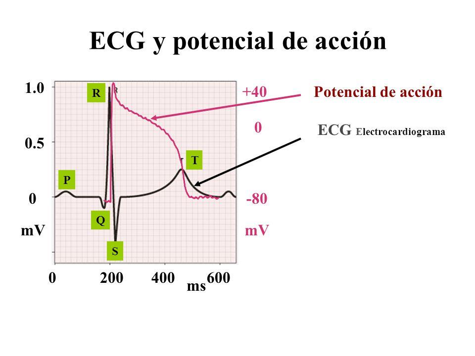 Potencial de acción ECG Electrocardiograma ECG y potencial de acción 0 0.5 1.0 mV 0200400600 ms P Q S T R mV -80 +40 0