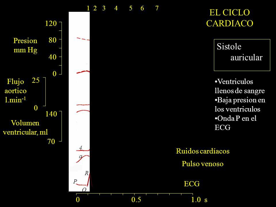 Pulso venoso 120 80 40 0 140 70 25 0 Ruidos cardíacos Presion mm Hg Flujo aortico l.min -1 Volumen ventricular, ml ECG a R Q P 1 4 0 0.5 1.0 s 1234567 Sistole auricular EL CICLO CARDIACO Ventriculos llenos de sangre Baja presion en los ventriculos Onda P en el ECG