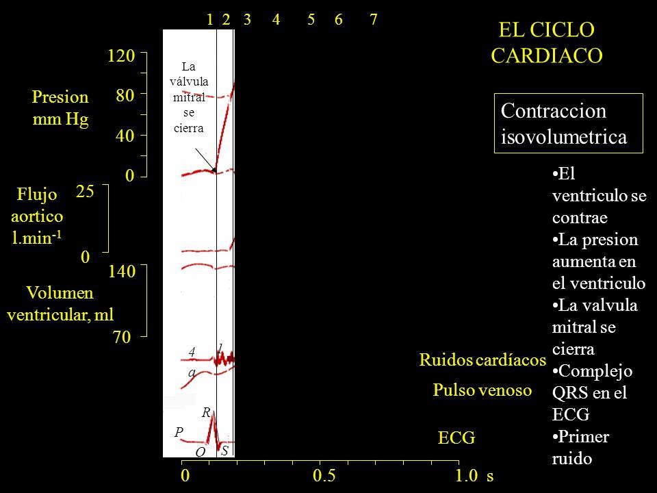 120 80 40 0 140 70 25 0 ECG a R Q S P 1 4 La válvula mitral se cierra 0 0.5 1.0 s 1234567 Contraccion isovolumetrica El ventriculo se contrae La presion aumenta en el ventriculo La valvula mitral se cierra Complejo QRS en el ECG Primer ruido Presion mm Hg Flujo aortico l.min -1 Volumen ventricular, ml Ruidos cardíacos Pulso venoso EL CICLO CARDIACO