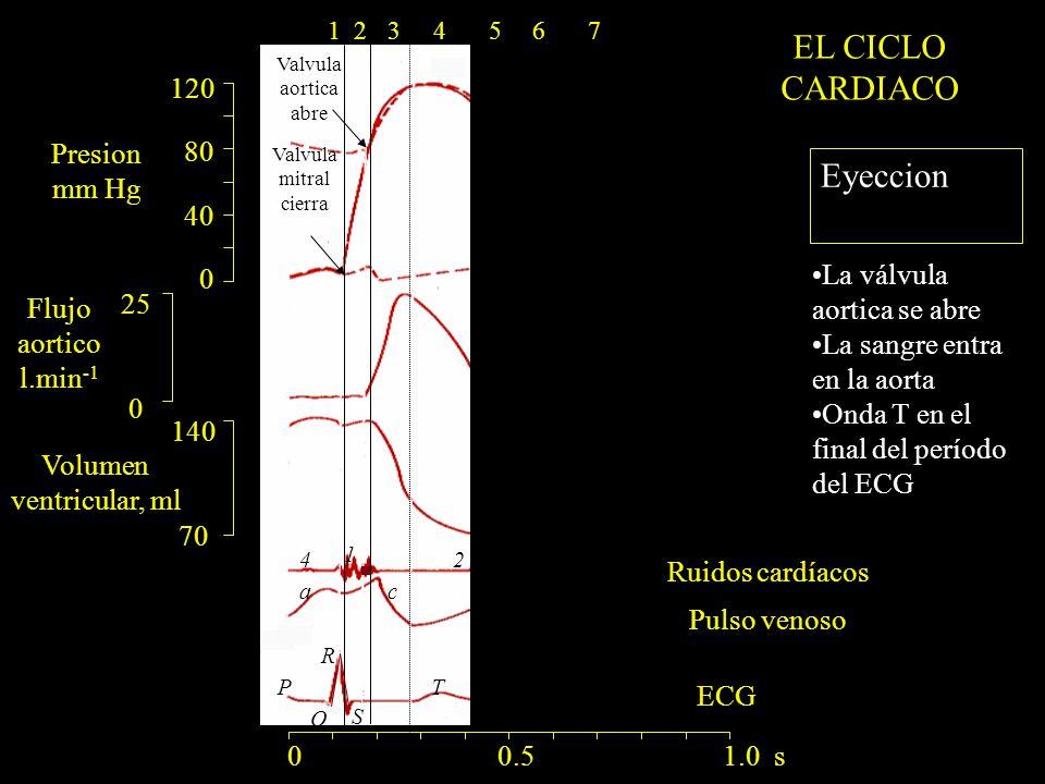 120 80 40 0 140 70 25 0 ac R Q S PT 1 24 Valvula mitral cierra Valvula aortica abre 0 0.5 1.0 s 1234567 Eyeccion La válvula aortica se abre La sangre entra en la aorta Onda T en el final del período del ECG Presion mm Hg Flujo aortico l.min -1 Volumen ventricular, ml Ruidos cardíacos Pulso venoso EL CICLO CARDIACO ECG
