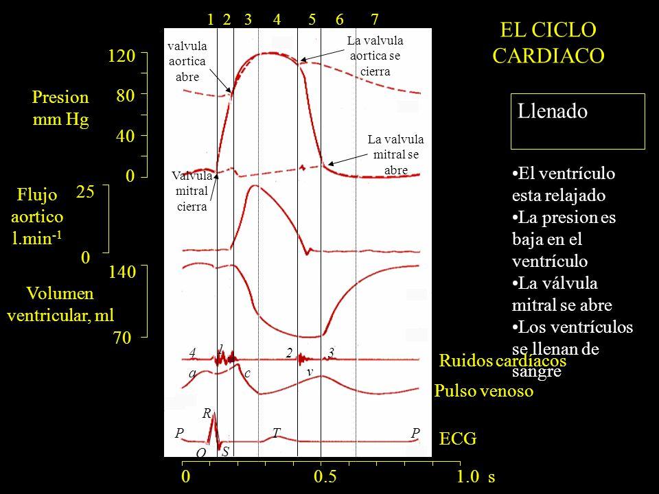 120 80 40 0 140 70 25 0 ac v R Q S PTP 1 234 La valvula mitral se abre 0 0.5 1.0 s 1234567 Llenado El ventrículo esta relajado La presion es baja en el ventrículo La válvula mitral se abre Los ventrículos se llenan de sangre Presion mm Hg Flujo aortico l.min -1 Volumen ventricular, ml Ruidos cardíacos Pulso venoso EL CICLO CARDIACO ECG La valvula aortica se cierra valvula aortica abre Valvula mitral cierra