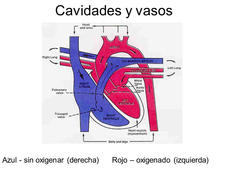 Cavidades y vasos Azul - sin oxigenar (derecha) Rojo – oxigenado (izquierda)
