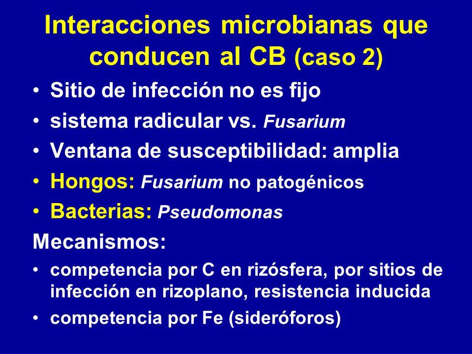 Interacciones microbianas que conducen al CB (caso 2) Sitio de infección no es fijo sistema radicular vs. Fusarium Ventana de susceptibilidad: amplia
