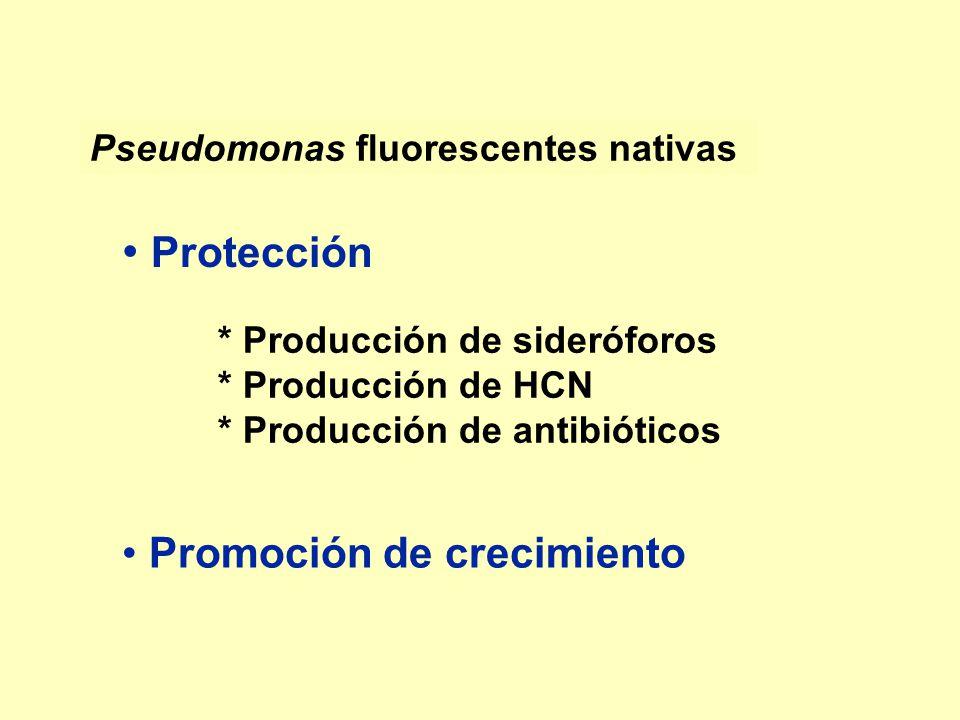 Pseudomonas fluorescentes nativas * Producción de sideróforos * Producción de HCN * Producción de antibióticos Protección Promoción de crecimiento