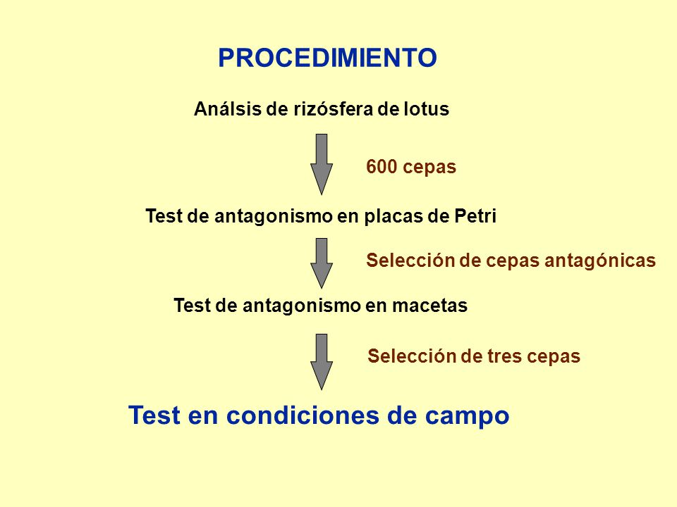 PROCEDIMIENTO 600 cepas AnáIsis de rizósfera de lotus Test de antagonismo en placas de Petri Selección de cepas antagónicas Test de antagonismo en mac