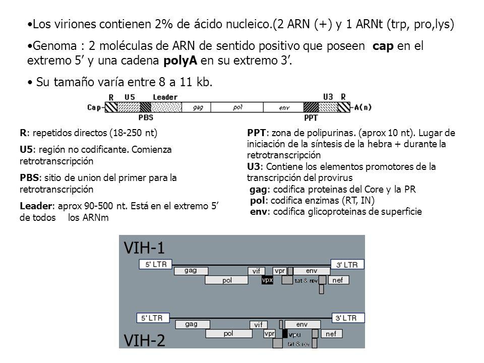 Los viriones contienen 2% de ácido nucleico.(2 ARN (+) y 1 ARNt (trp, pro,lys) Genoma : 2 moléculas de ARN de sentido positivo que poseen cap en el ex