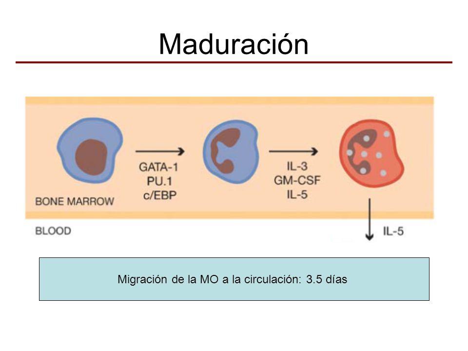 Maduración Migración de la MO a la circulación: 3.5 días