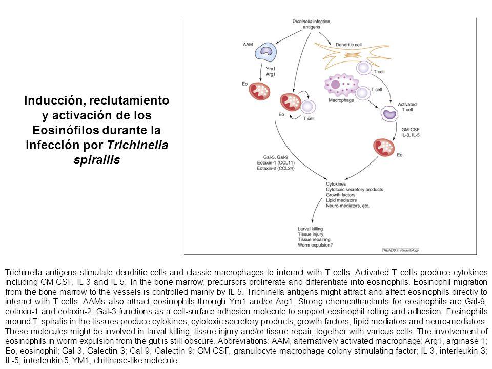 Inducción, reclutamiento y activación de los Eosinófilos durante la infección por Trichinella spirallis Trichinella antigens stimulate dendritic cells