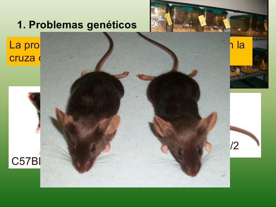 DBA/2 La producción de híbridos B6D2F1, se basa en la cruza de dos líneas consanguíneas. C57BL/6 X 1. Problemas genéticos