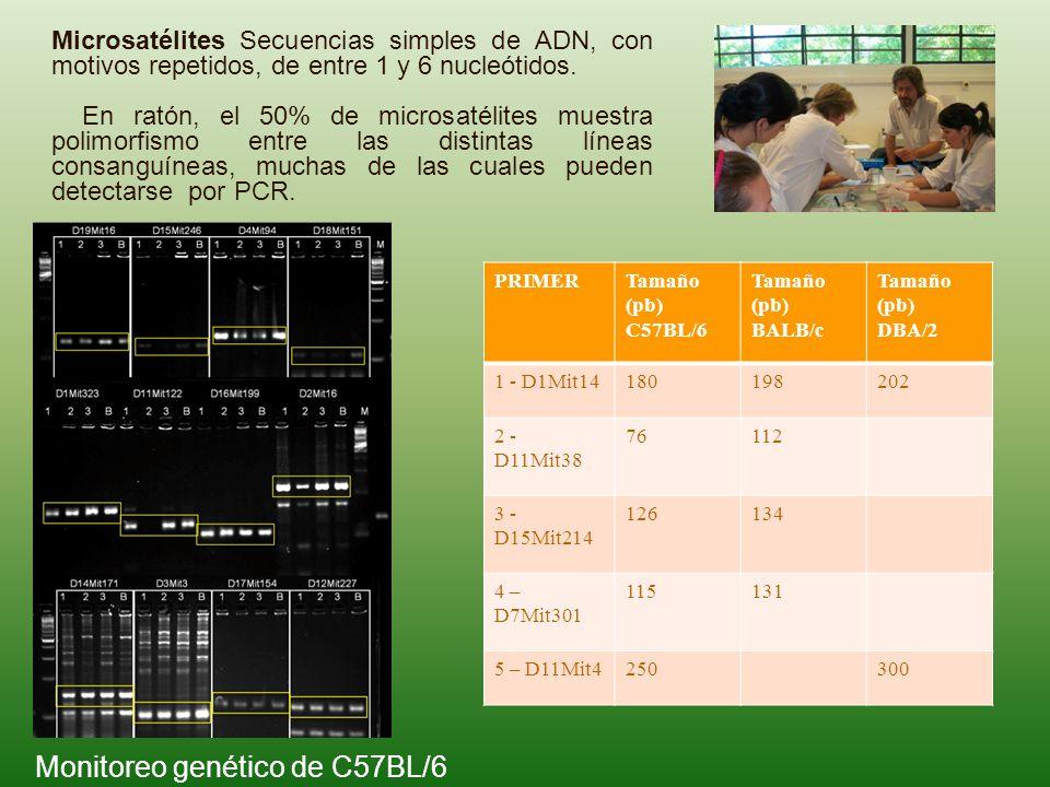 Monitoreo genético de C57BL/6 Microsatélites Secuencias simples de ADN, con motivos repetidos, de entre 1 y 6 nucleótidos. En ratón, el 50% de microsa
