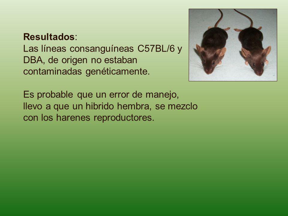 Resultados: Las líneas consanguíneas C57BL/6 y DBA, de origen no estaban contaminadas genéticamente. Es probable que un error de manejo, llevo a que u