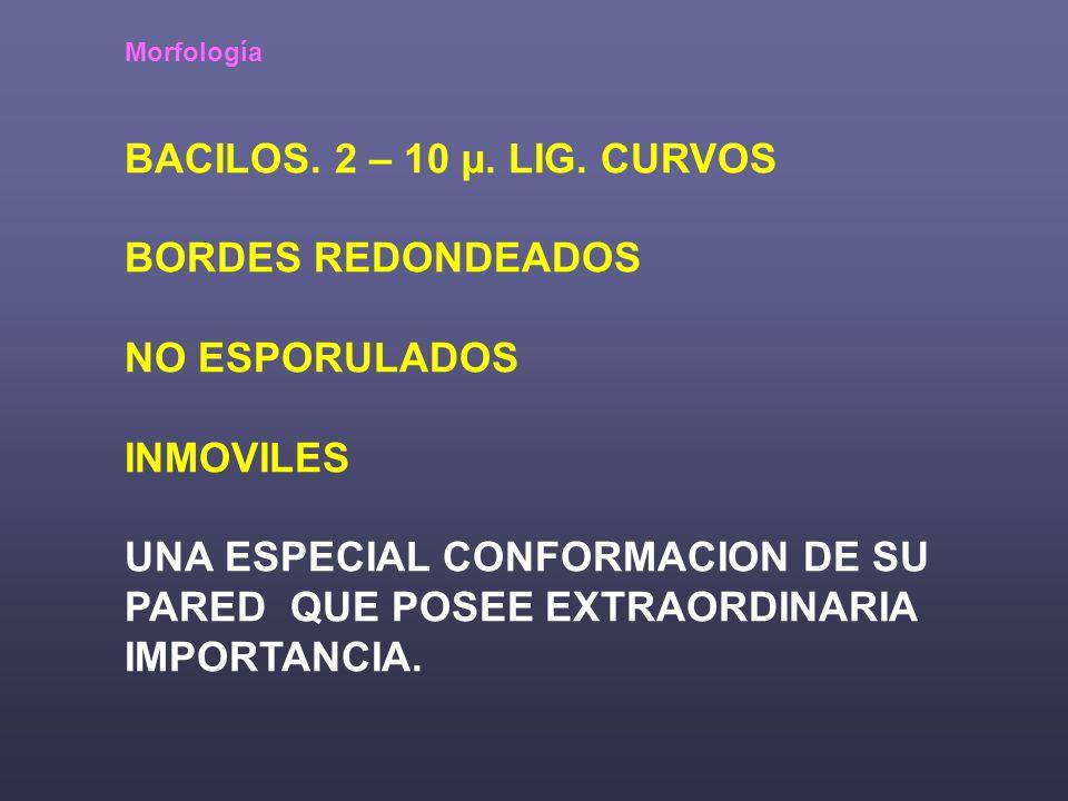 Morfología BACILOS.2 – 10 µ. LIG.