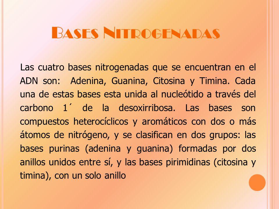 B ASES N ITROGENADAS Las cuatro bases nitrogenadas que se encuentran en el ADN son: Adenina, Guanina, Citosina y Timina.