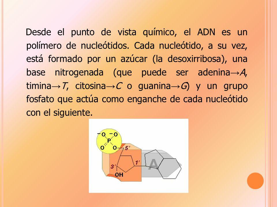 Desde el punto de vista químico, el ADN es un polímero de nucleótidos.