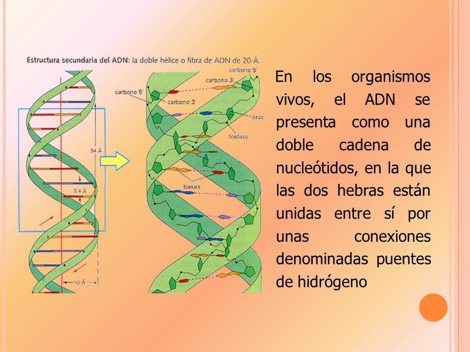 En los organismos vivos, el ADN se presenta como una doble cadena de nucleótidos, en la que las dos hebras están unidas entre sí por unas conexiones denominadas puentes de hidrógeno
