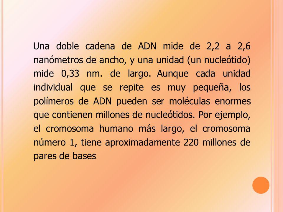 Una doble cadena de ADN mide de 2,2 a 2,6 nanómetros de ancho, y una unidad (un nucleótido) mide 0,33 nm.