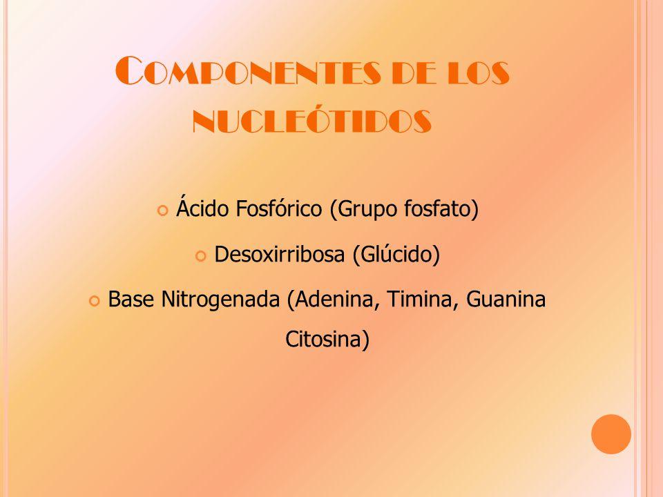 C OMPONENTES DE LOS NUCLEÓTIDOS Ácido Fosfórico (Grupo fosfato) Desoxirribosa (Glúcido) Base Nitrogenada (Adenina, Timina, Guanina Citosina)