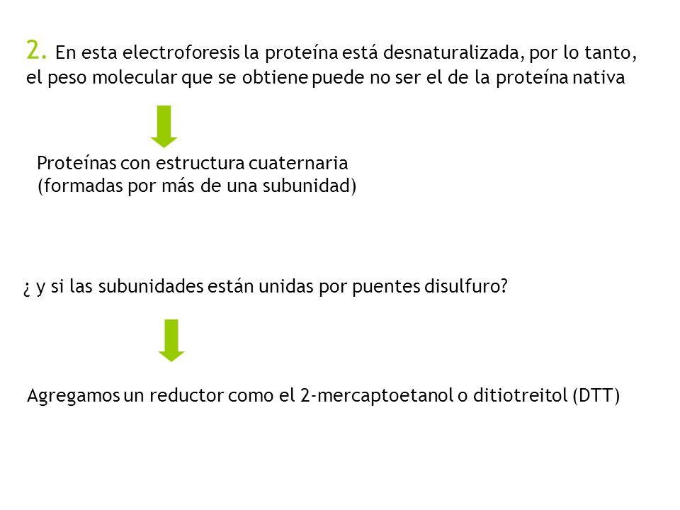 2. En esta electroforesis la proteína está desnaturalizada, por lo tanto, el peso molecular que se obtiene puede no ser el de la proteína nativa Prote