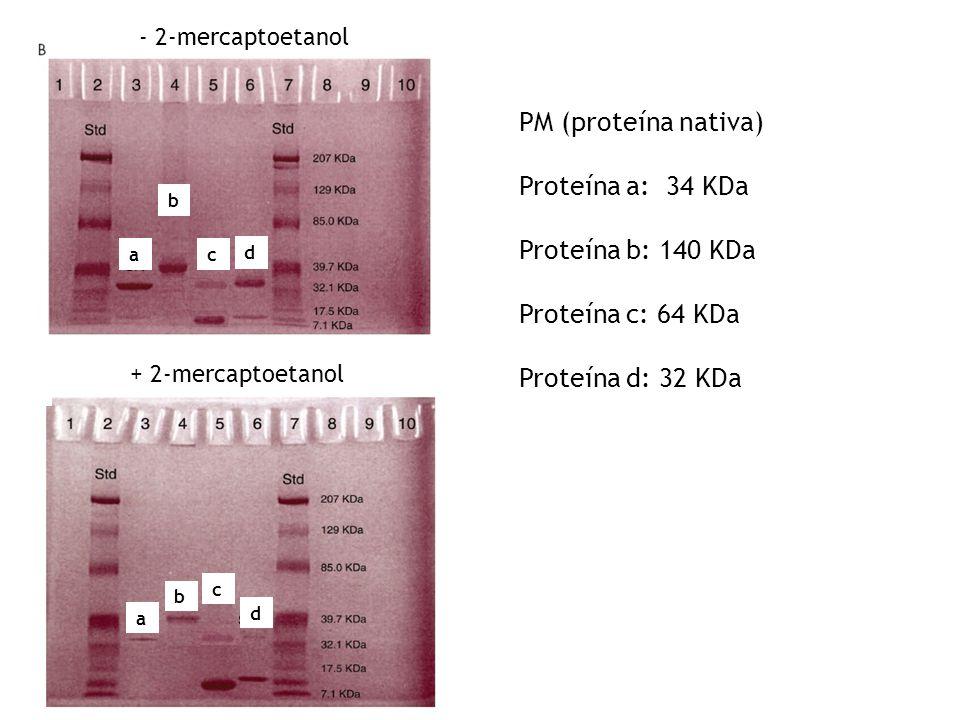 + 2-mercaptoetanol a d c b - 2-mercaptoetanol a d c b PM (proteína nativa) Proteína a: 34 KDa Proteína b: 140 KDa Proteína c: 64 KDa Proteína d: 32 KD