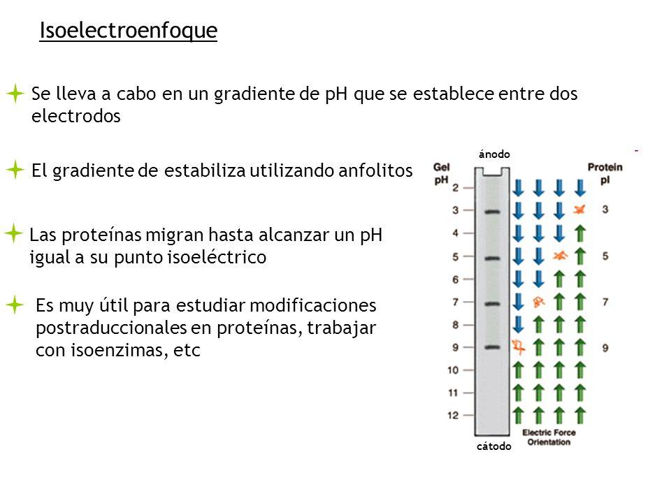 Isoelectroenfoque Se lleva a cabo en un gradiente de pH que se establece entre dos electrodos El gradiente de estabiliza utilizando anfolitos Las proteínas migran hasta alcanzar un pH igual a su punto isoeléctrico cátodo ánodo Es muy útil para estudiar modificaciones postraduccionales en proteínas, trabajar con isoenzimas, etc