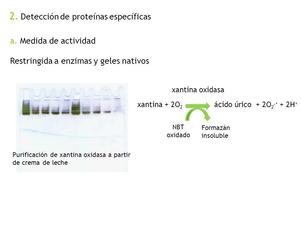 2. Detección de proteínas específicas a. Medida de actividad Restringida a enzimas y geles nativos Purificación de xantina oxidasa a partir de crema d