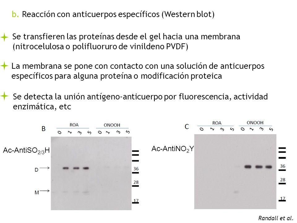 b. Reacción con anticuerpos específicos (Western blot) Se transfieren las proteínas desde el gel hacia una membrana (nitrocelulosa o polifluoruro de v