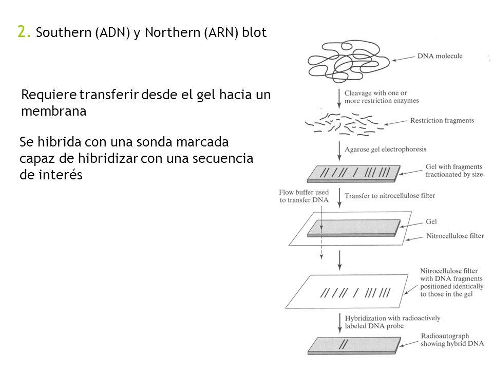 2. Southern (ADN) y Northern (ARN) blot Requiere transferir desde el gel hacia una membrana Se hibrida con una sonda marcada capaz de hibridizar con u