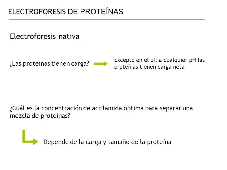 ELECTROFORESIS DE PROTEÍNAS Electroforesis nativa ¿Las proteínas tienen carga? Excepto en el pI, a cualquier pH las proteínas tienen carga neta ¿Cuál