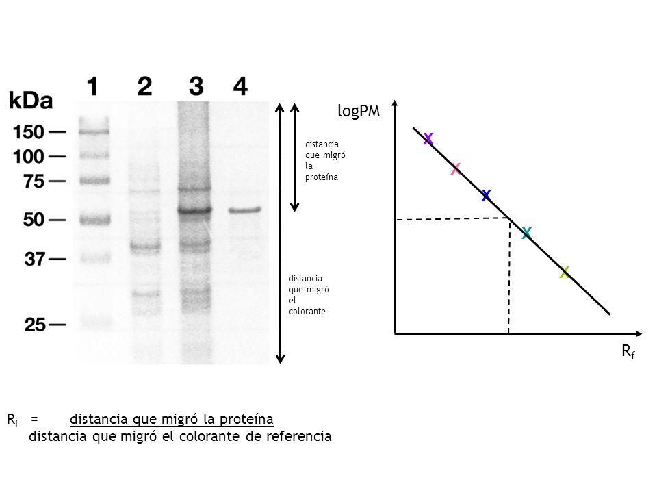 distancia que migró la proteína distancia que migró el colorante X X X X X logPM RfRf R f = distancia que migró la proteína distancia que migró el colorante de referencia