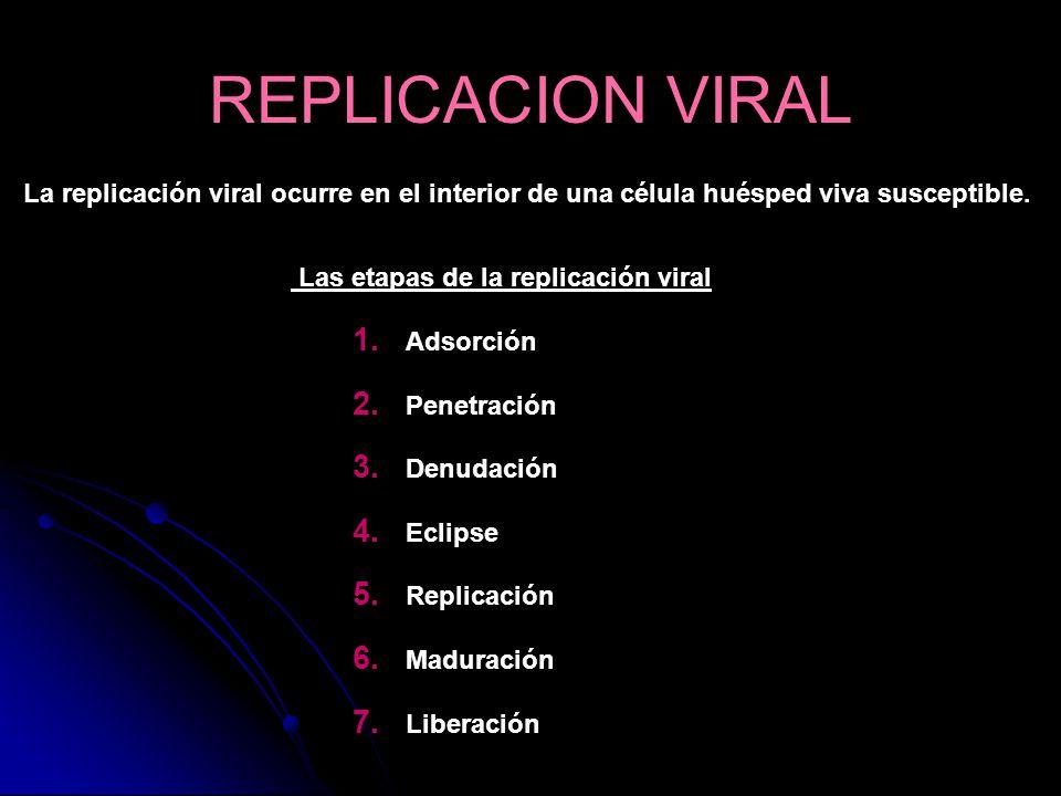 La replicación viral ocurre en el interior de una célula huésped viva susceptible. Las etapas de la replicación viral 1. Adsorción 2. Penetración 3. D
