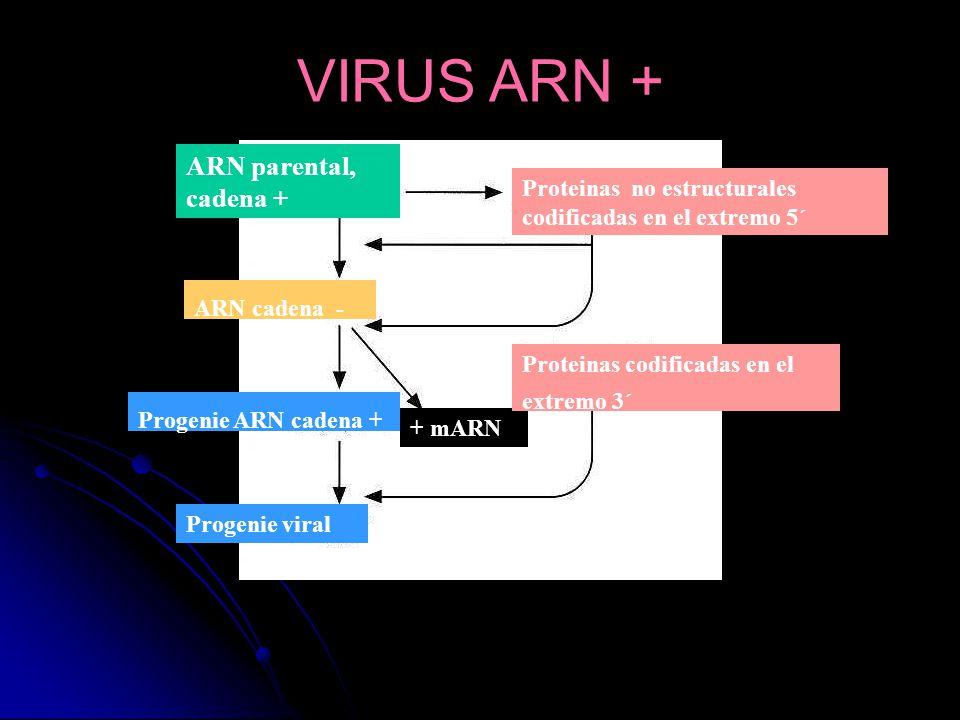ARN parental, cadena + ARN cadena - Progenie ARN cadena + Progenie viral + mARN Proteinas no estructurales codificadas en el extremo 5´ Proteinas codi