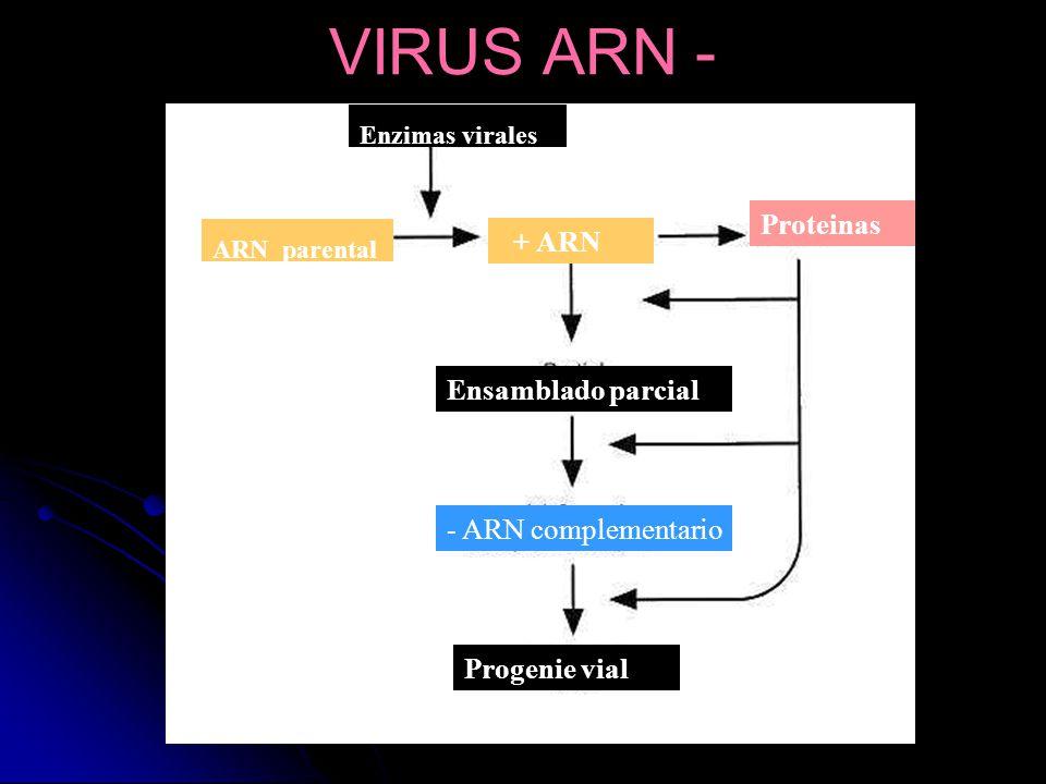 ARN parental Enzimas virales + ARN Proteinas Ensamblado parcial - ARN complementario Progenie vial VIRUS ARN -