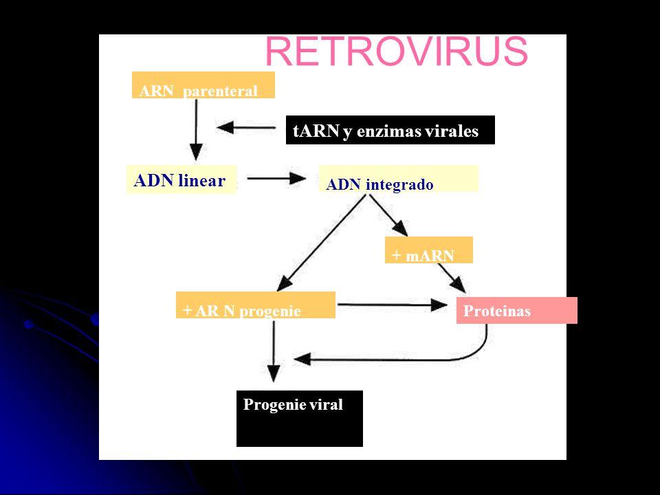 ARN parenteral tARN y enzimas virales ADN linear ADN integrado + mARN Proteinas + AR N progenie Progenie viral RETROVIRUS