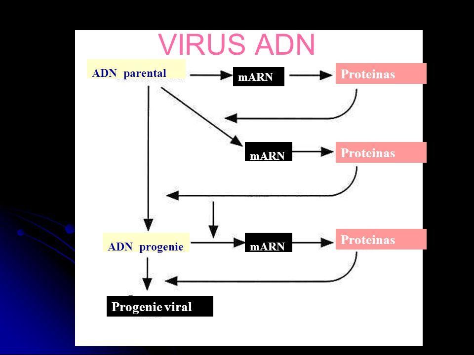 ADN parental mARN Proteinas mARN Proteinas mARNADN progenie Progenie viral VIRUS ADN