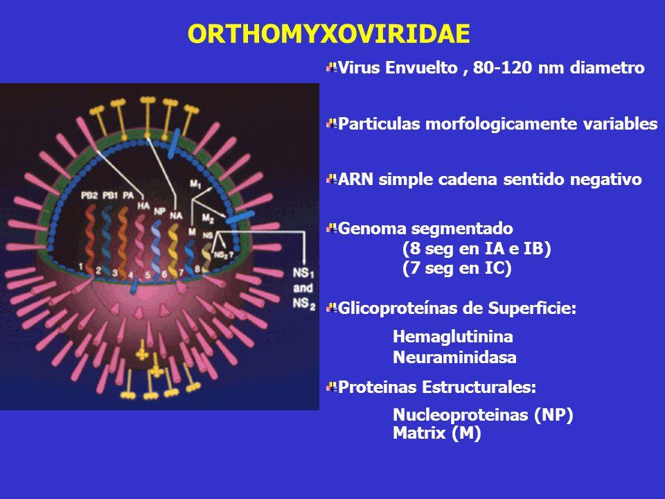 Virus Envuelto, 80-120 nm diametro Particulas morfologicamente variables ARN simple cadena sentido negativo Genoma segmentado (8 seg en IA e IB) (7 seg en IC) Glicoproteínas de Superficie: Hemaglutinina Neuraminidasa Proteinas Estructurales: Nucleoproteinas (NP) Matrix (M) ORTHOMYXOVIRIDAE
