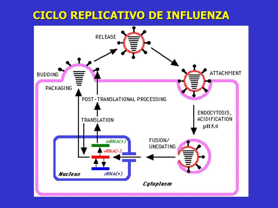 Subtipos HA y NA en virus Influenza A H1 H2 H3 H4 H5 H6 H7 H8 H9 H10 H11 H12 H13 H14 H15, 16 N1 N2 N3 N4 N5 N6 N7 N8 N9 Subtipos : HXNX