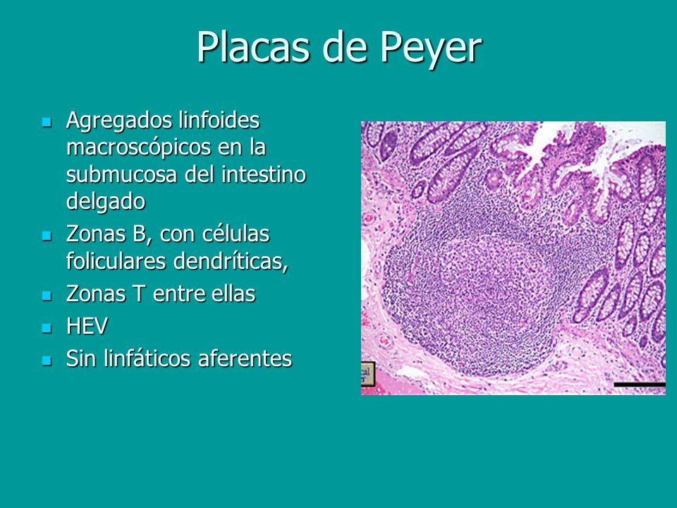 Placas de Peyer Agregados linfoides macroscópicos en la submucosa del intestino delgado Agregados linfoides macroscópicos en la submucosa del intestin