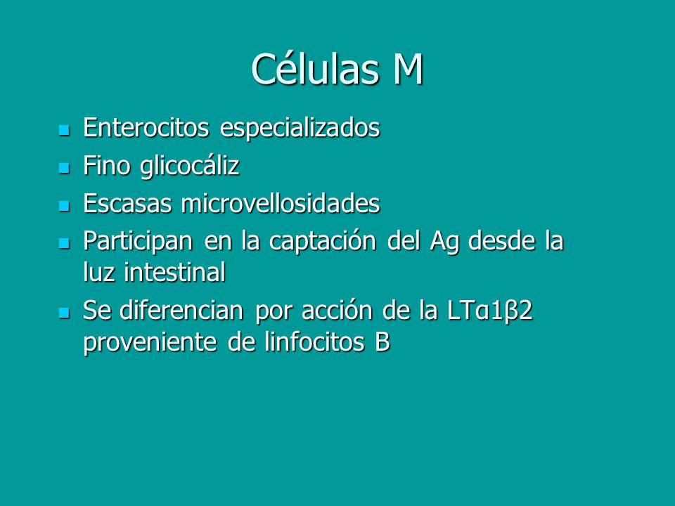 Células M Enterocitos especializados Enterocitos especializados Fino glicocáliz Fino glicocáliz Escasas microvellosidades Escasas microvellosidades Pa
