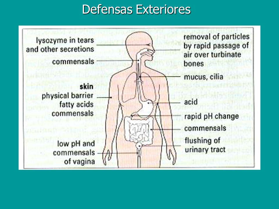 MALT:Proteger la Mucosa (pero no reaccionar contra cualquier antígeno) Sitio primario de infección (rotavirus,reovirus, influenza, HIV, Salmonella, Shigella) Sitio primario de infección (rotavirus,reovirus, influenza, HIV, Salmonella, Shigella) IgA secretoria 40mg/kg (6.0 x 10 10 células productoras de Ac en el tejido mucoso, 2.5 x 10 10 en los tejidos linfoides) IgA secretoria 40mg/kg (6.0 x 10 10 células productoras de Ac en el tejido mucoso, 2.5 x 10 10 en los tejidos linfoides) Inmunidad mediada por células (~80% de los linfocitos mucosos son T) NK, NK1.1 T cells, T cells Inmunidad mediada por células (~80% de los linfocitos mucosos son T) NK, NK1.1 T cells, T cells