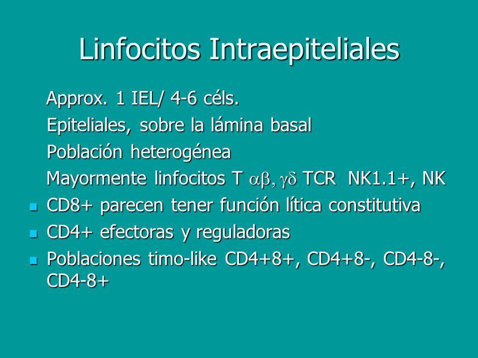Linfocitos Intraepiteliales Approx. 1 IEL/ 4-6 céls. Approx. 1 IEL/ 4-6 céls. Epiteliales, sobre la lámina basal Población heterogénea Mayormente linf