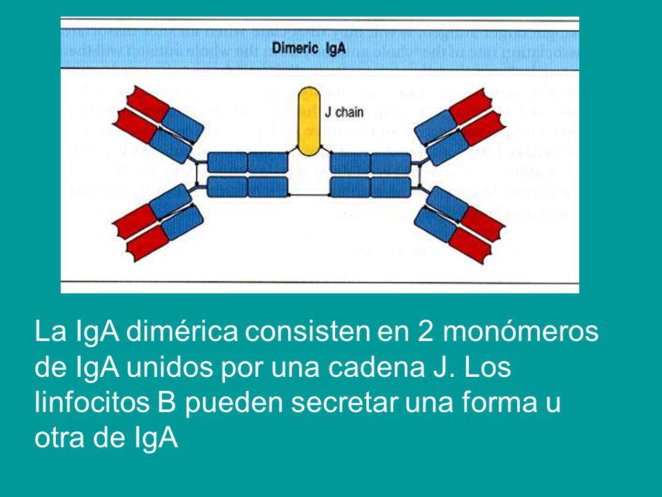 La IgA dimérica consisten en 2 monómeros de IgA unidos por una cadena J. Los linfocitos B pueden secretar una forma u otra de IgA