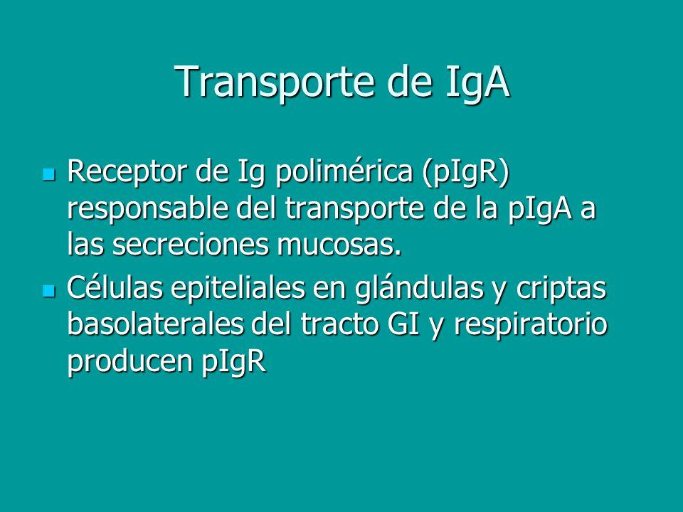 Transporte de IgA Receptor de Ig polimérica (pIgR) responsable del transporte de la pIgA a las secreciones mucosas. Receptor de Ig polimérica (pIgR) r