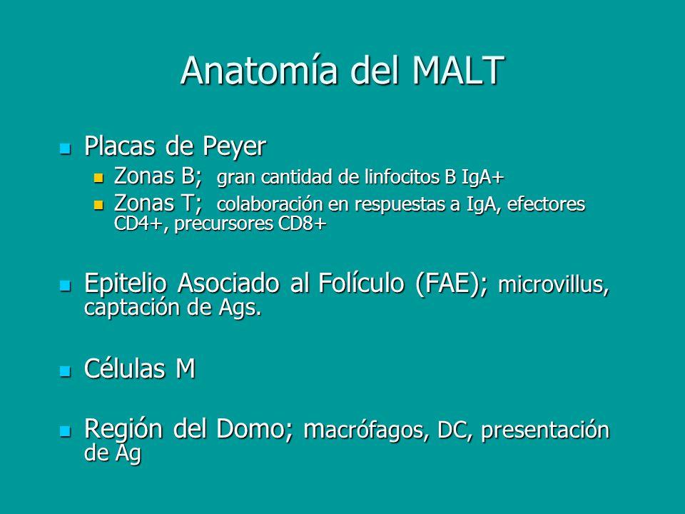 Anatomía del MALT Placas de Peyer Placas de Peyer Zonas B; gran cantidad de linfocitos B IgA+ Zonas B; gran cantidad de linfocitos B IgA+ Zonas T; col