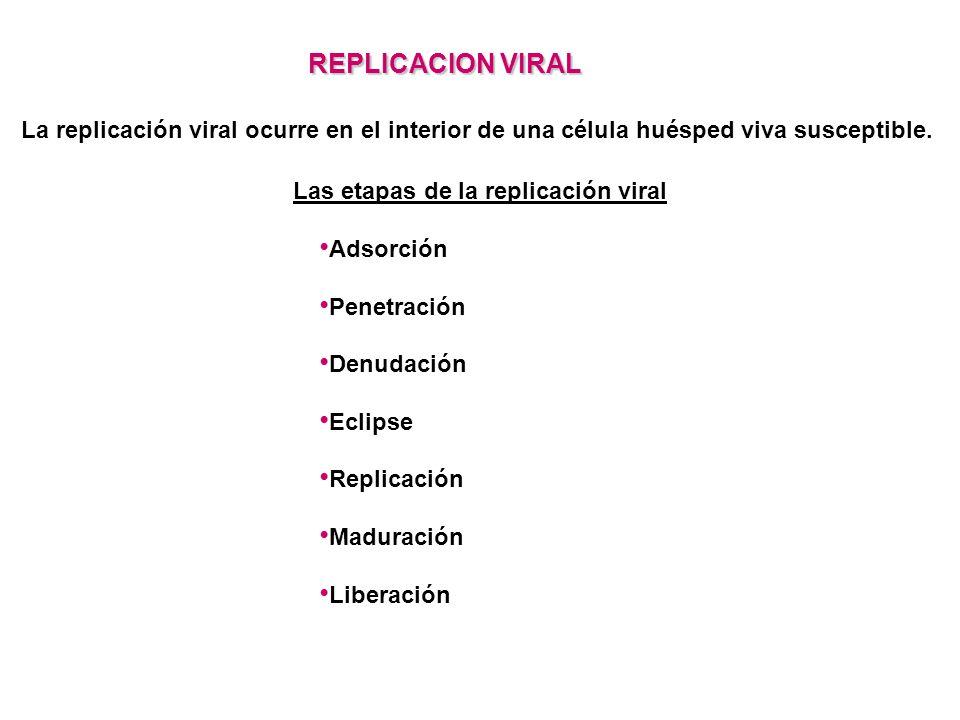 REPLICACION VIRAL La replicación viral ocurre en el interior de una célula huésped viva susceptible.