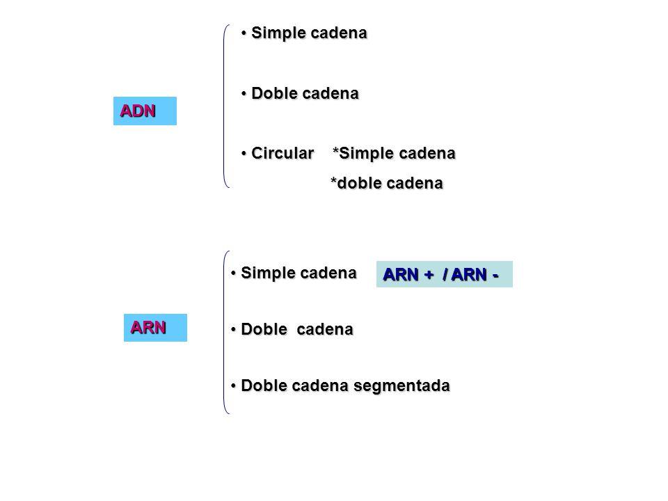 ADN Simple cadena Simple cadena Doble cadena Doble cadena Doble cadena segmentada Doble cadena segmentada Simple cadena Simple cadena Doble cadena Doble cadena Circular *Simple cadena Circular *Simple cadena *doble cadena *doble cadena ARN + / ARN - ARN