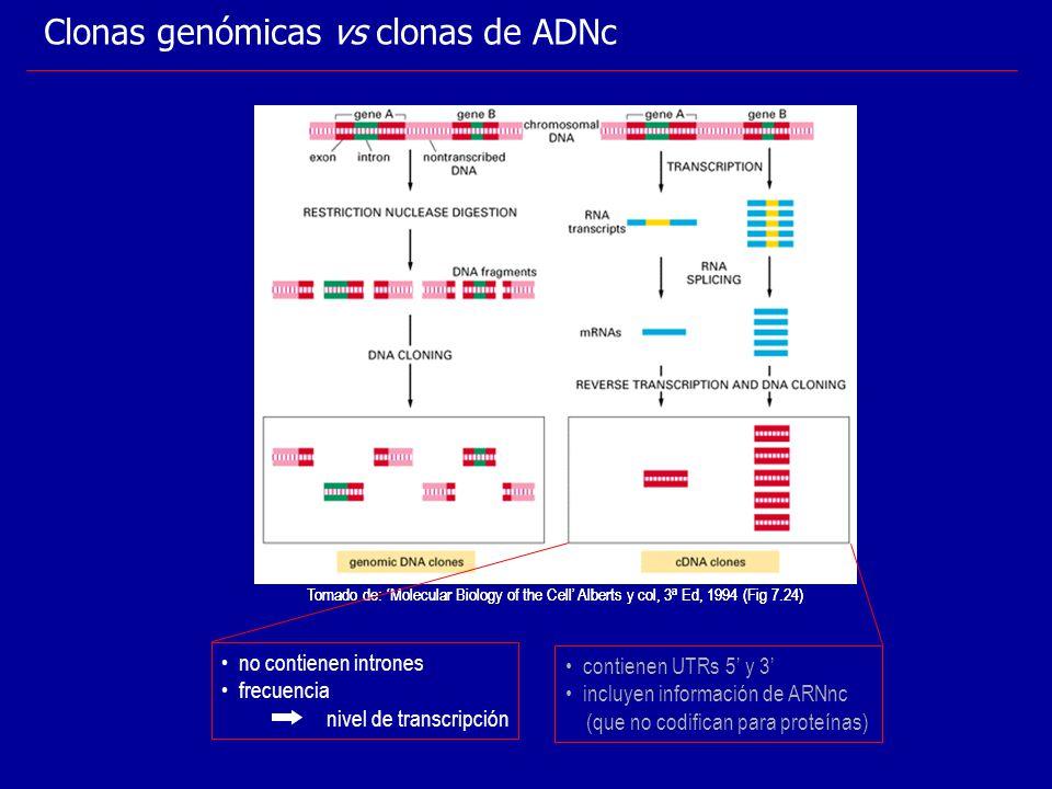 Tomado de: Molecular Biology of the Cell Alberts y col, 3 a Ed, 1994 (Fig 7.24) Clonas genómicas vs clonas de ADNc Tomado de: Molecular Biology of the